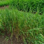 Common Timothy Grass