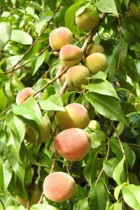 close up of an alabama peach tree branch showing multiple ripe peaches